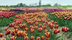 Lemo Gartendesign | Tulpenfeld rot-orange