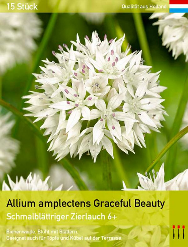 Allium amplectens Graceful Beauty