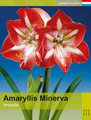 Lemo Gartendesign | Amaryllis Minerva
