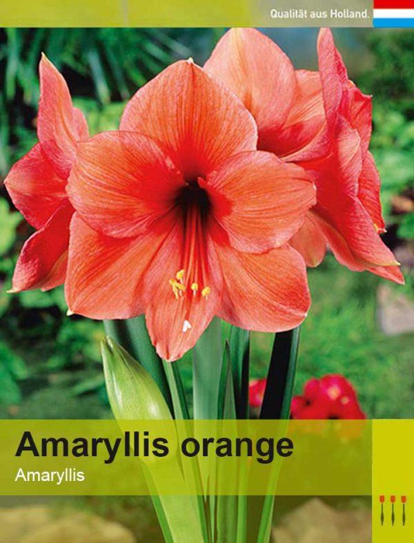 Lemo Gartendesign   Amaryllis orange