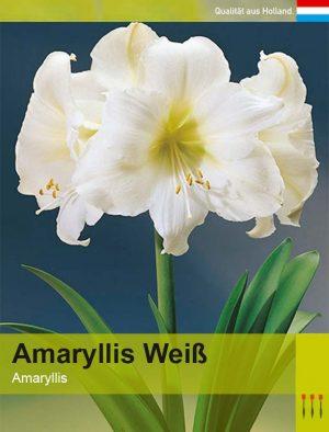 Lemo Gartendesign | Amaryllis weiß
