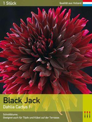 Großblütige Kaktusdahlie 'Black Jack'