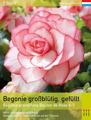 Begonie `Bouton de Rose`, gefüllt