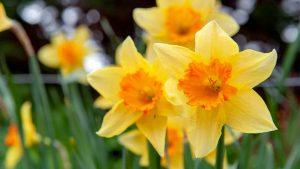Lemo Gartendesign | Narzissen im Frühling