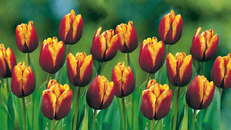 Lemo Gartendesign | rot-gelbe Tullpen