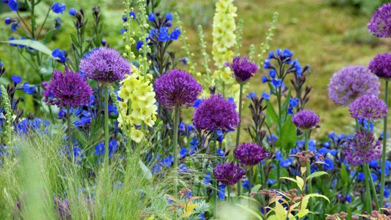 Lemo Gartendesign | lila Zierlauch auf einer Wiese