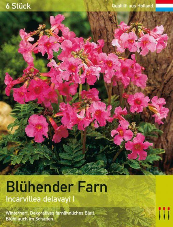 Blühender Farn rosa