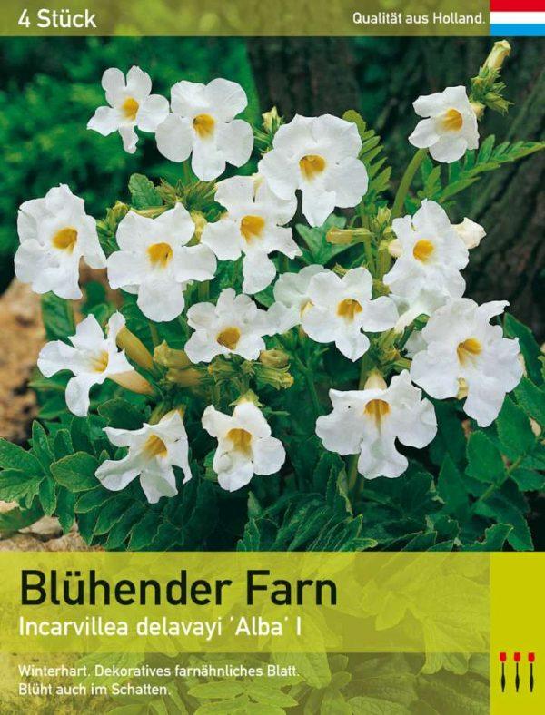 Blühender Farn 'Alba'