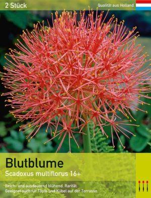 Blutblume