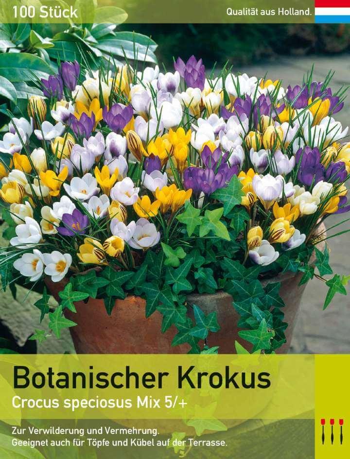 Botanischer Krokus Mix
