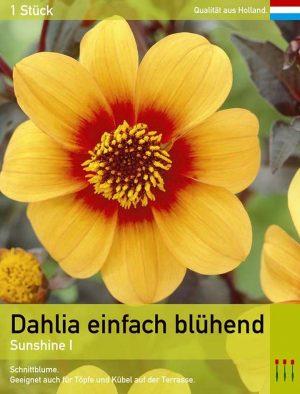 Dahlia Mignon 'Sunshine'