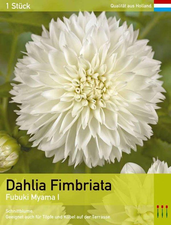 Dahlie 'Fubuki Myama'