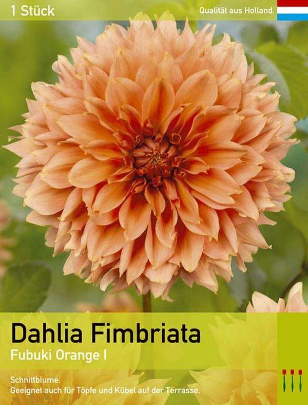 Dahlie'Fubuki Orange'