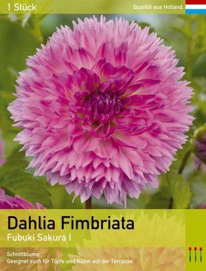 Dahlie'Fubuki Sakura'