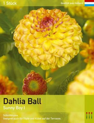 Dahlie'Sunny Boy'