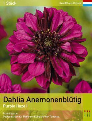 Anemonenblütige Dahlie 'Purple Haze'