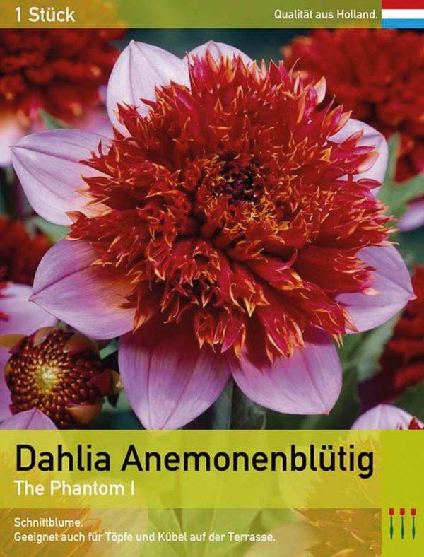 Dahlia 'The Phantom'