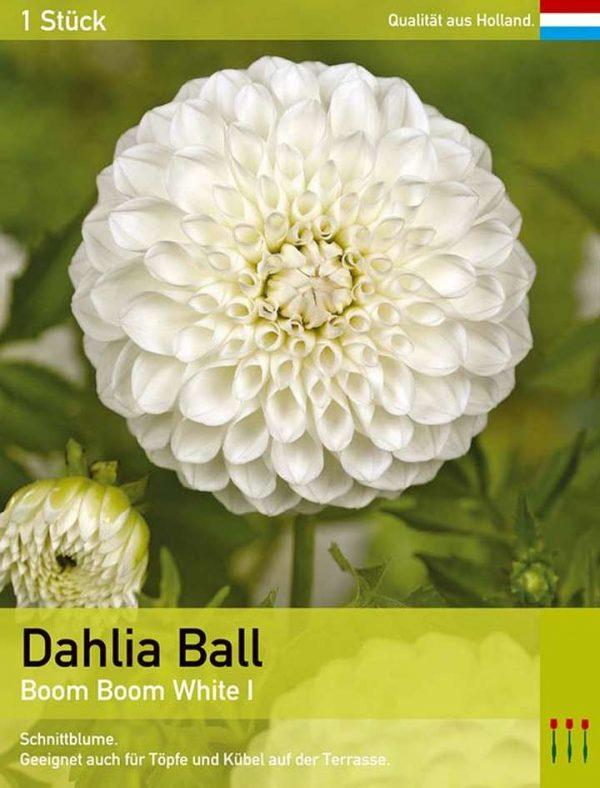 Dahlie 'Boom Boom White'