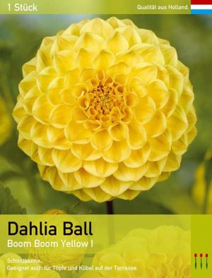 Dahlie'Boom Boom Yellow'