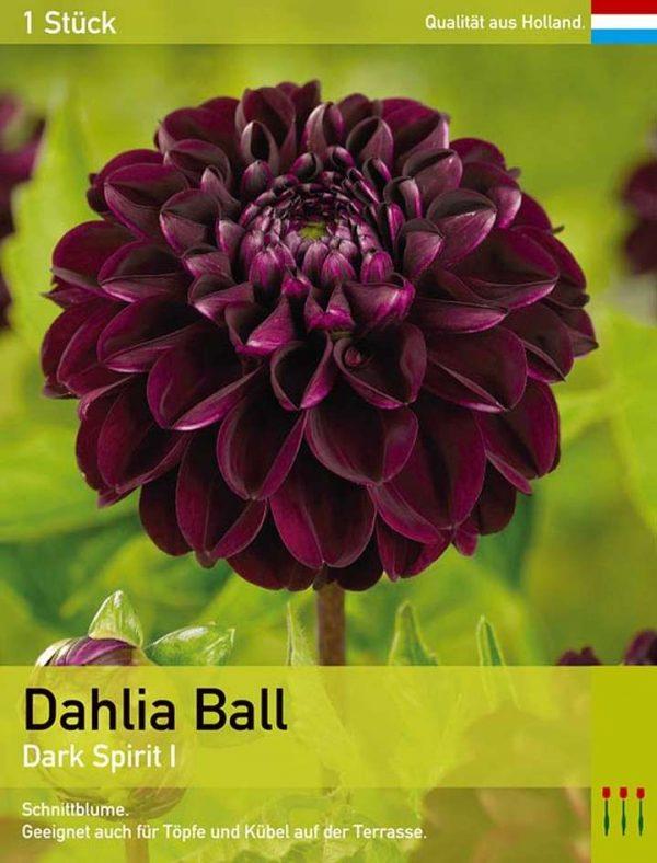 Pompon Dahlie 'Dark Spirit'