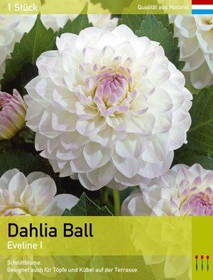 Dahlie'Eveline'