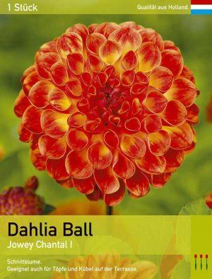 Dahlie 'Jowey Chantal'