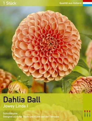 Dahlie 'Jowey Linda'