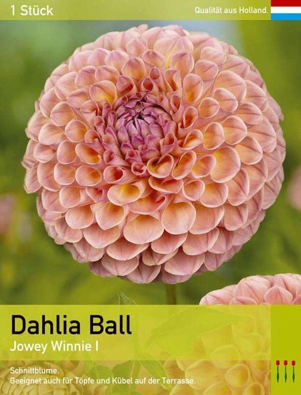 Dahlie 'Jowey Winnie'