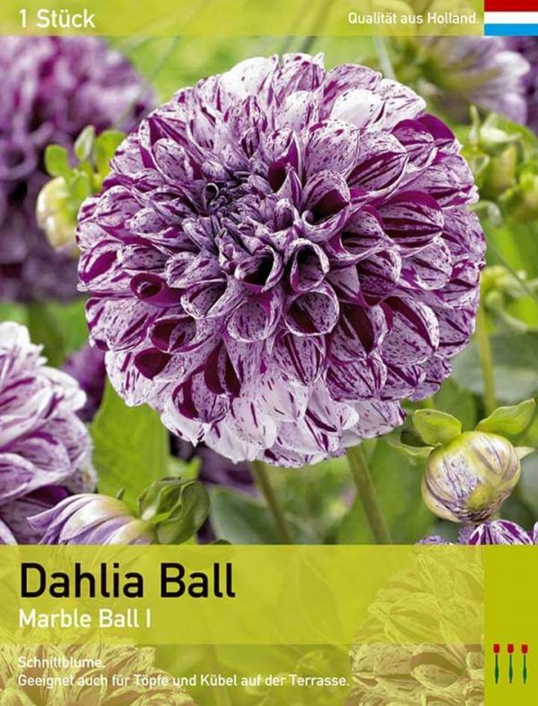 Dahlie 'Marble Ball'