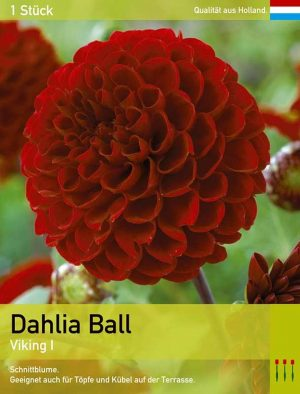 Dahlia Ball 'Viking'