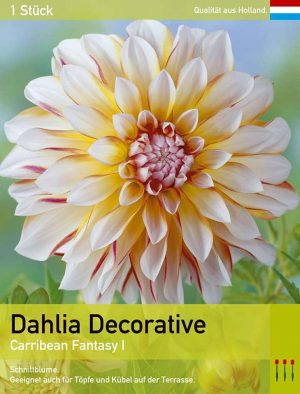 Großblütige Dahlie 'Carribean Fantasy'