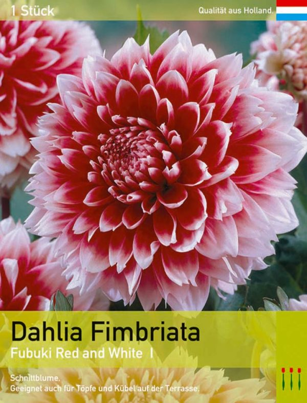 Dahlia `Red and White`