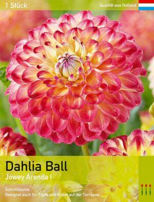 Dahlia 'Jowey Arenda'