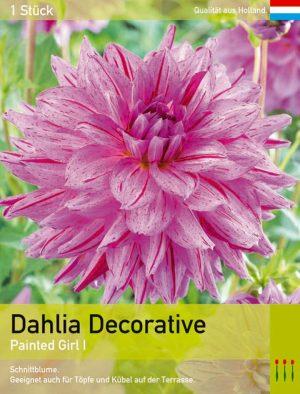 Dahlia decorative 'Painted Girl'