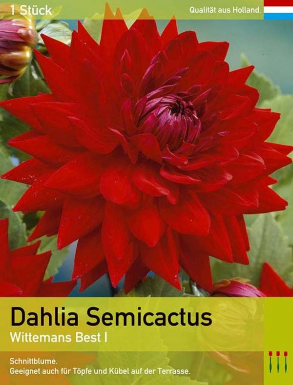 Großblütige Dahlie 'Wittemans Best'