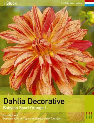 Großblütige Dahlie ' Babylon Sport Orange'