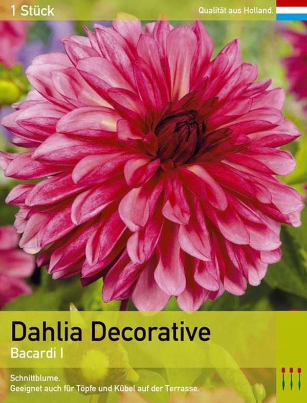 Großblütige Dahlie 'Bacardi'