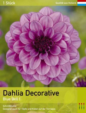 Großblütige Dahlie 'Blue Bell'