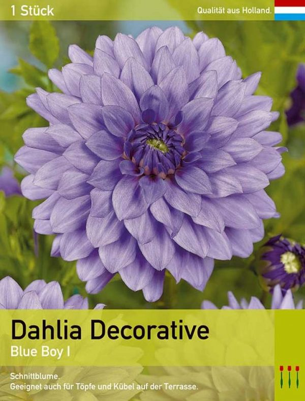 Großblütige Dahlie 'Blue Boy'