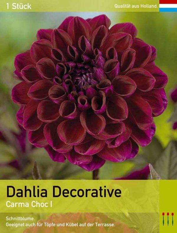 Großblütige Dahlie 'Carma Choc'