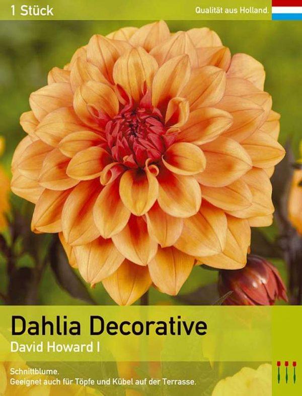 Großblütige Dahlie 'David Howard'