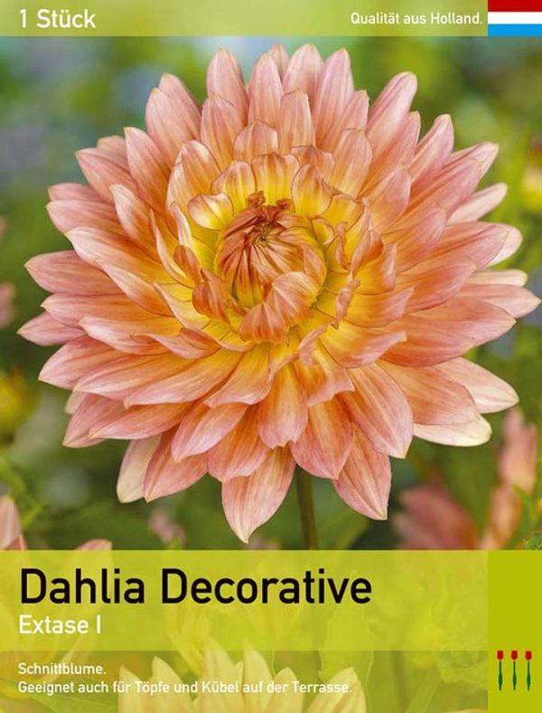 Großblütige Dahlie 'Extase'