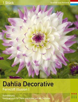 Großblütige Dahlie 'Ferncliff Illusion'