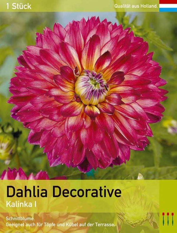 Großblütige Dahlie 'Kalinka'