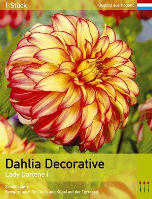 Großblütige Dahlie 'Lady Darlene'