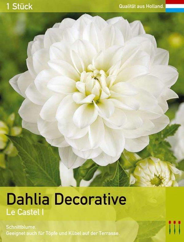 Großblütige Dahlie 'Le Castel'