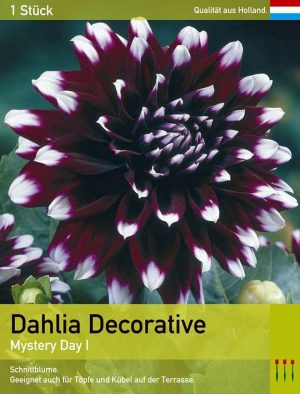 Dahlia decorative 'Mystery Day'