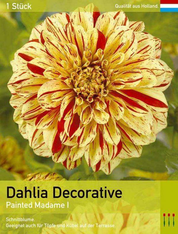 Großblütige Dahlie 'Painted Madame'