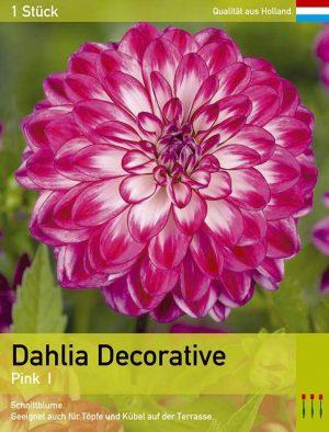 Großblütige Dahlie 'Pink '