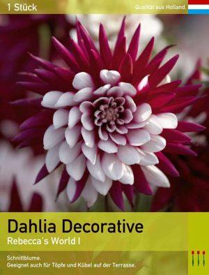 Großblütige Dahlie 'Rebecca's World'